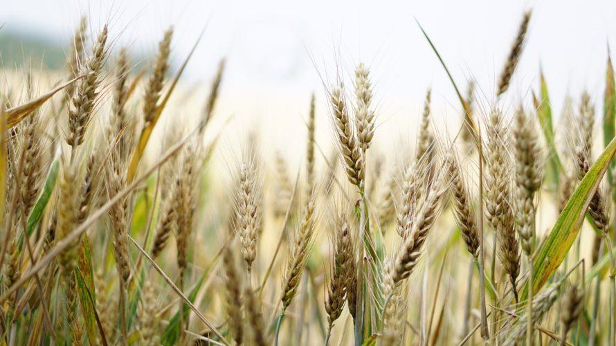 遺伝子組み換え食品や農薬小麦の輸入で食パンから大量の農薬が!日米貿易協定で更なる癌リスクUP